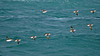 Razorbills