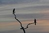 Anhingas at dusk