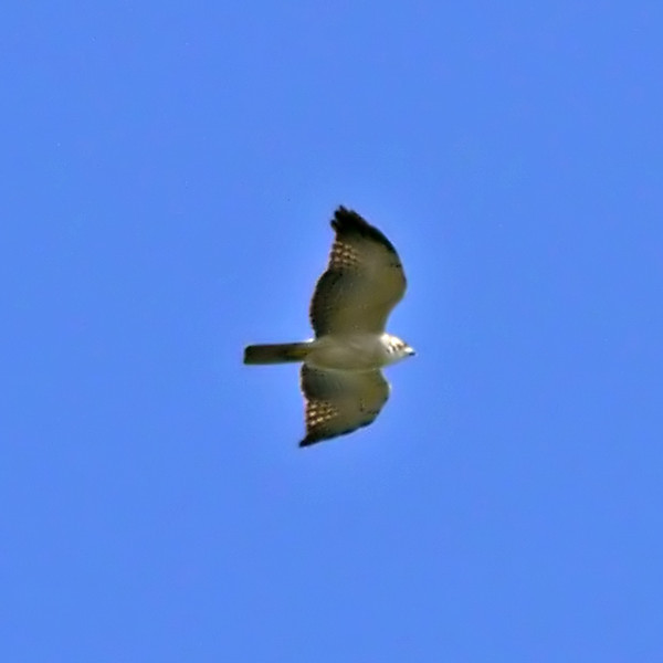 Short-tailed Hawk (light morph)