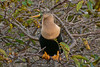 Anhinga (female)